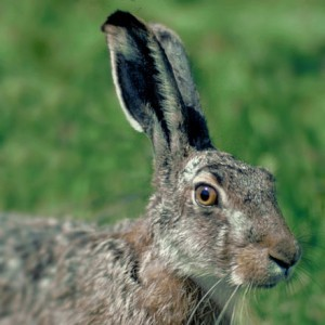The hare, upon which the March Hare in Alice in Wonderland is based (Courtesy: Wikipedia)